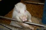 Schwein im Stall Blick Landwirtschaft © Hannes Schleeh