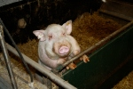 Schwein im Stall Schaut Landwirtschaft © Hannes Schleeh