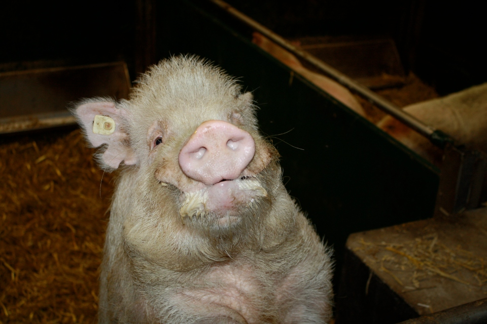 Schwein im Stall Landwirtschaft © Hannes Schleeh