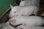 Schweine im Stall Landwirtschaft © Hannes Schleeh