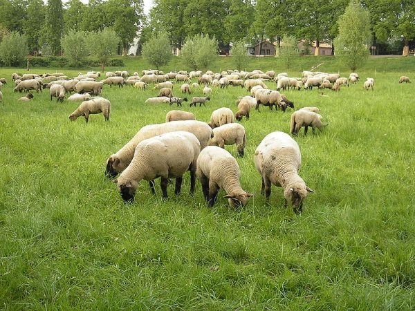 Schafherde auf den Rheinwiesen vor Köln-Poll