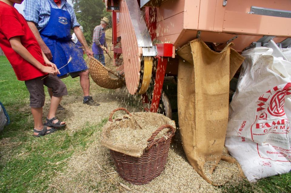 Spelzen werden ausgeblasen und das schwere Korn landet in den weißen Säcken